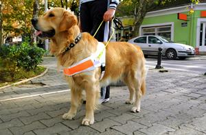 Local Guide Dog School Seeks Volunteers to Train Puppies