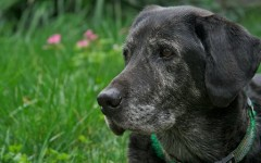 Veterinary Care for a Senior Dog