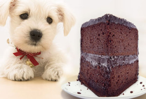 Toxicity of Chocolate in Canines