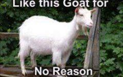 Goat Fan