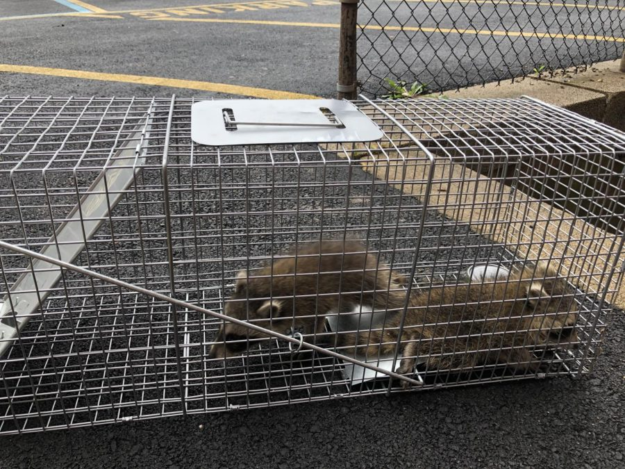 Rapid Raccoon Attack Leaves Westchester Citizens Concerned