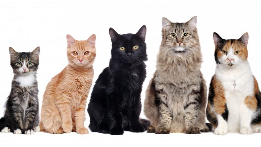 10 Cats Breeds for Busy College Students